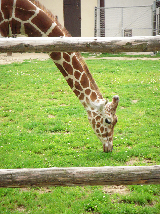 Giraffe at Henry Vilas Zoo